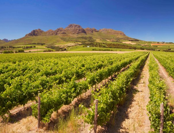 Vineyards with mountains in the background near Stellenbosch in South Africa.